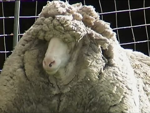 Sheep Apparently Not Shorn in Six Years