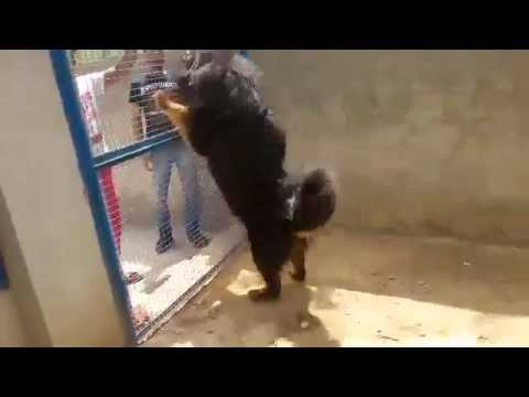 tibetan mastiff in india(punjab)09592361465