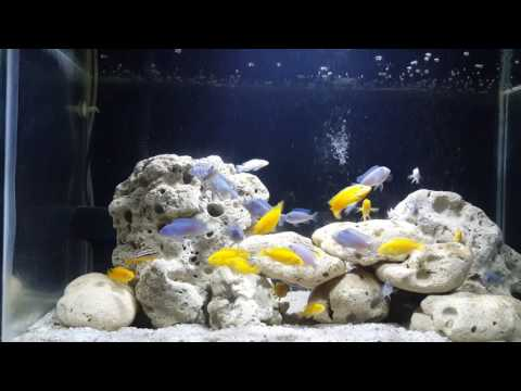 My New 30 Gallon Yellow Lab And Blue Coblat Tank