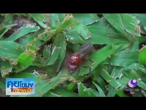 เชียงใหม่แห่จับแมงมันขาย ราคาดี กิโลละ 2,500