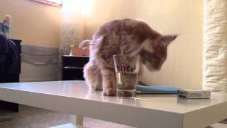 Кошка пьет из стакана