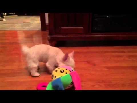Yorkshire Terrier Puppies In Virginia