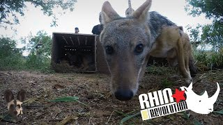 Black Backed Jackals Released into Boma