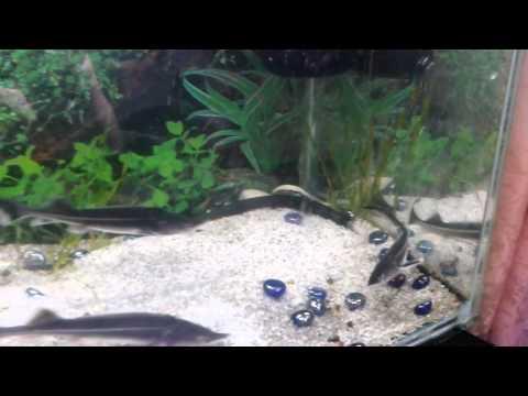 содержание осетров в аквариуме видео