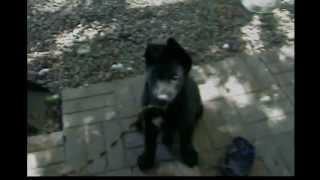9 Week Old Black German Shepherd. Starting To Get Ears Up.