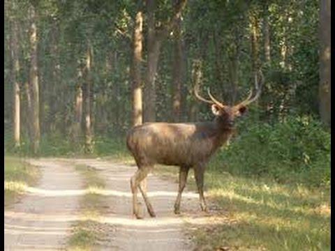 Sambar Deer Ranthambore 1