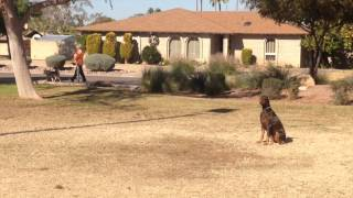 Doberman Dog Training, Before And After