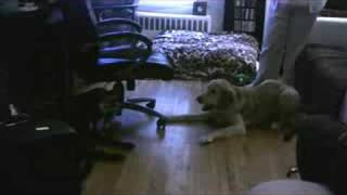 My Golden Retriever Ella - Barking Match
