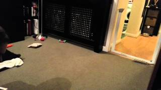 Rottweiler Puppy playing and growling
