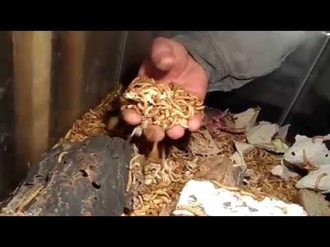 Мучные черви часть-2.