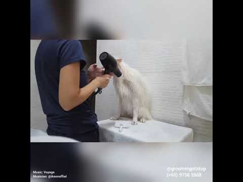 Creamie (Japanese Spitz) - Full Grooming Day