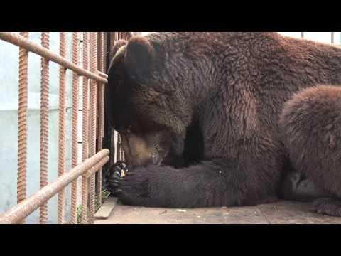 Как медведь сгущенку ест