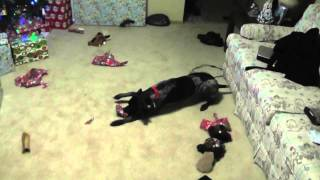 German Shorthair Pointer Puppy Opening Christmas Presents