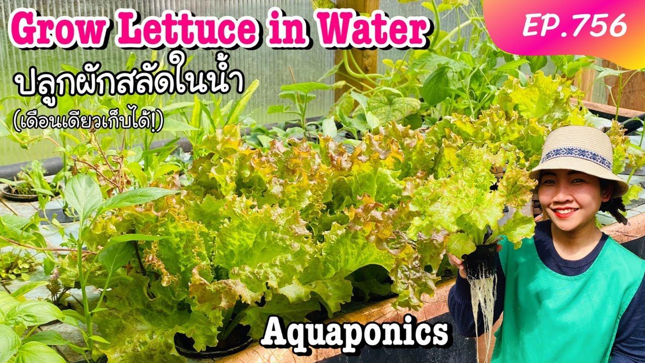 ปลูกผักสลัดในน้ำ (ไม่ใช้ยา‼️) เดือนกว่า ๆ โตได้กินทันใจ Aquaponics in UK EP.756/Kamerr inter