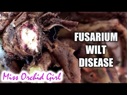 Orchid With Fusarium Wilt Infection