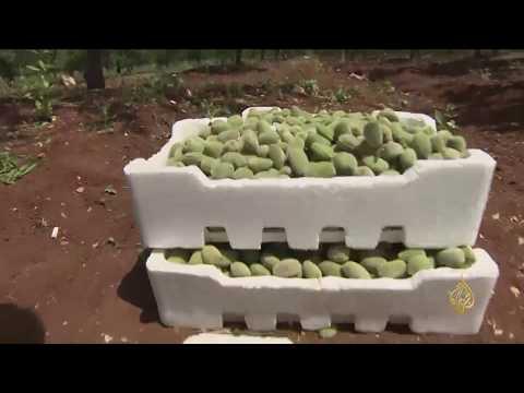 هذا الصباح- موسم جمع فاكهة الربيع بالأردن  - نشر قبل 2 ساعة