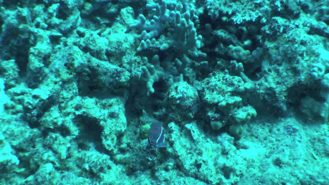 Kona Diving Company >> Male Whitley S Boxfish Diving With Kona Diving Company