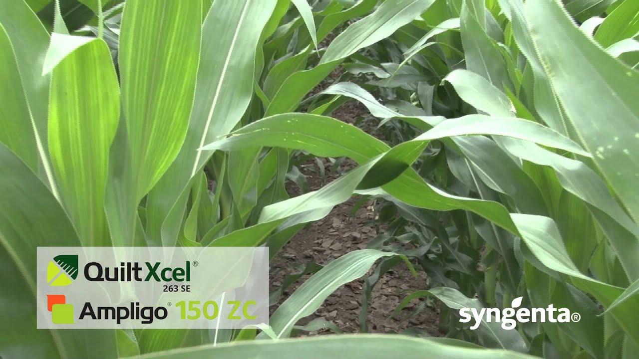 Syngenta Ampligo i Quilt dobri partneri u kukuruzu - YouTube : quilt xcel fungicide - Adamdwight.com