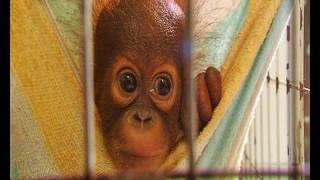 Tiny baby orangutan orphans