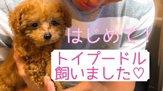 トイプードルメリィが初めておうちにやってきた!!! thumbnail
