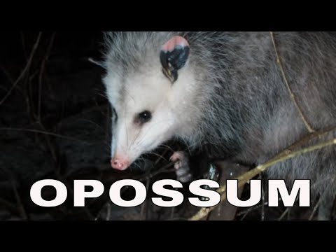 I finally got close to an Opossum to get some pictures and videos! YAY!