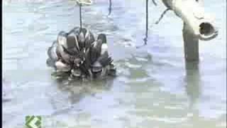 Mussel Cultivation in Kasaragod
