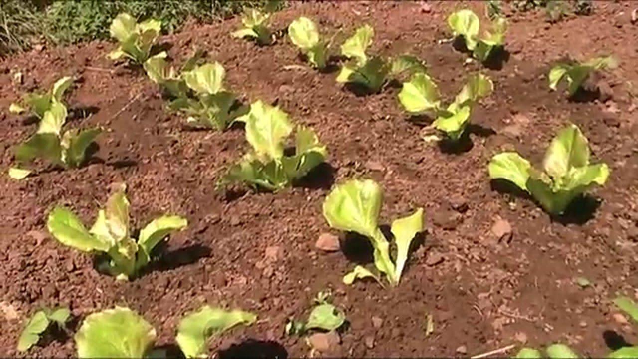 Cultivo de lechugas en el huerto org nico youtube for Sustrato para mesa de cultivo