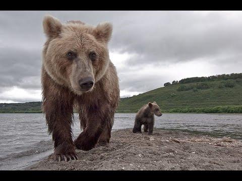 Вопрос: Есть ли у медведя-гризли естественные враги?