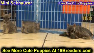 Miniature Schnauzer, Puppies, For, Sale, In, Wichita, Kansas, Ks, Pittsburg, Hays, Liberal, Prairie