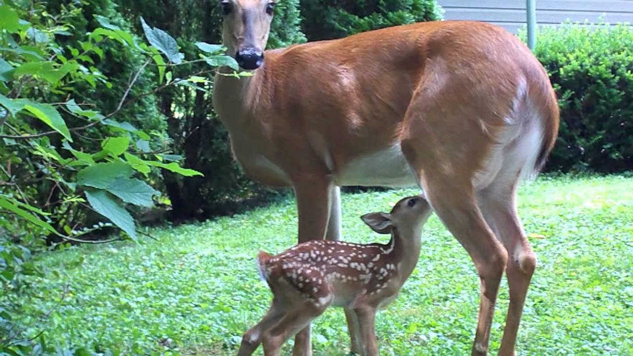 deer wallpaper cute