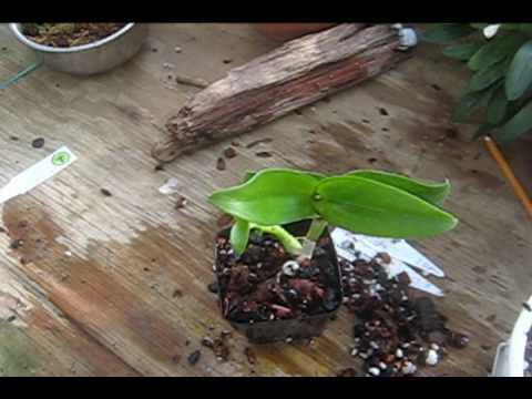 Remove A Dendrobium Keiki And Pot It Up Step By Step Instructions