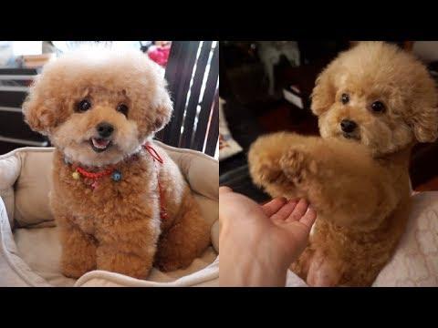 MEET THE CUTEST DOG EVER (REAL DOG, NOT A TEDDY BEAR)