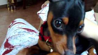 Miniature Pinscher Mad