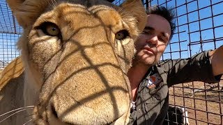 Moving Lions! | The Lion Whisperer