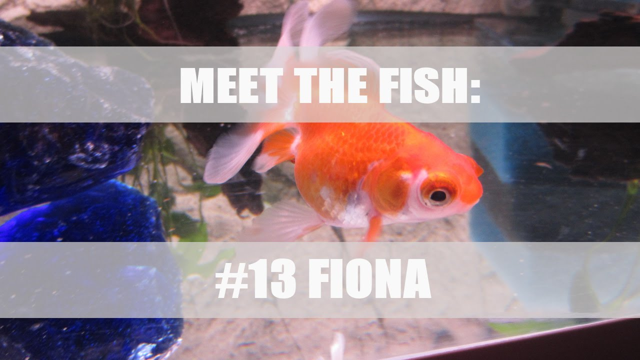 Meet the fish - Fiona, The female Fancy Goldfish - Total Fish Bliss ...