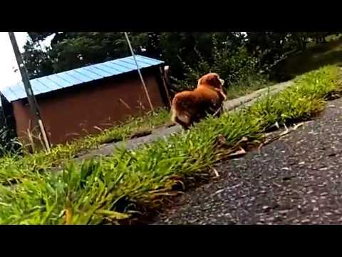 散歩中いきなり飼い主が倒れたら犬はどんな反応をするのか、実際に検証した動画