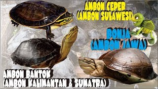 KURA KURA AMBON CEPER SULAWESI || JENIS KURA KURA AMBON YANG ADA DI INDONESIA