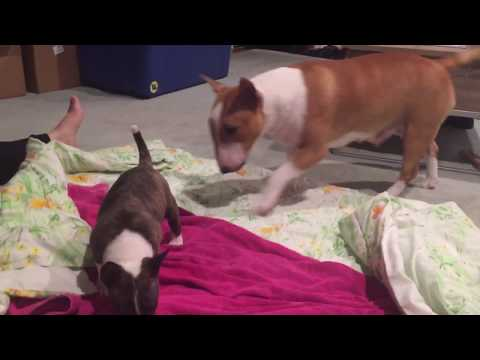 #38–Velociraptor Mini Bull Terrier Puppies—Evolution Kennel—The Only Acceptable Bully