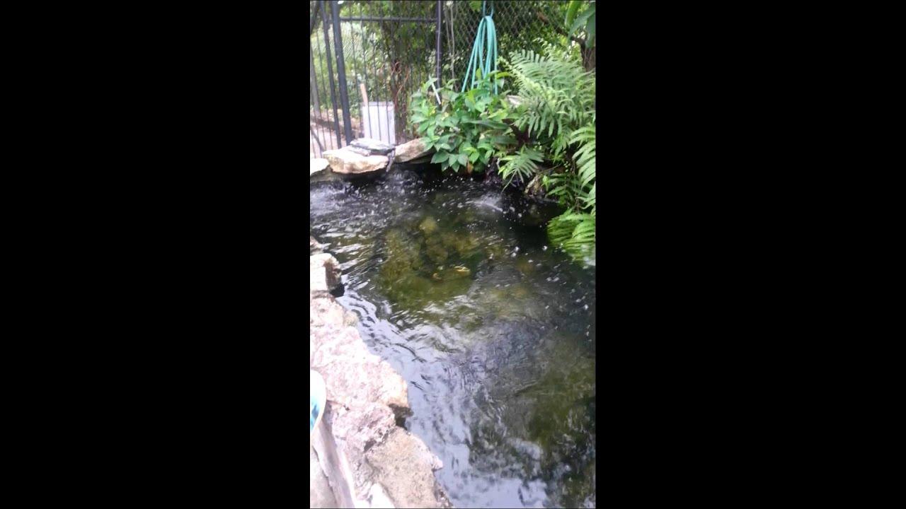 My overstock koi pond youtube for My koi pond