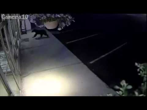 Bear Attempts to Break Into a Hardware Store in Grand Coulee Washington