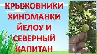 видео Крыжовник Северный Капитан