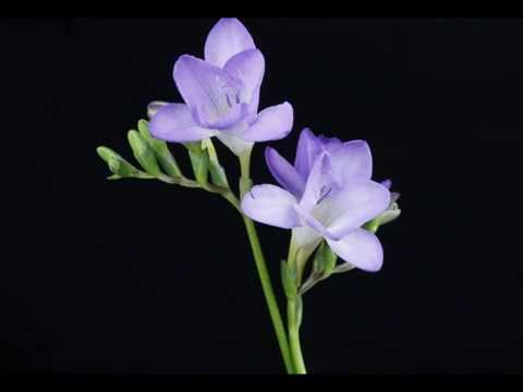 amazing flower time lapse compilation, Natural flower