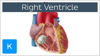Right Ventricle - Function, Definition and Anatomy - Human Anatomy | Kenhub