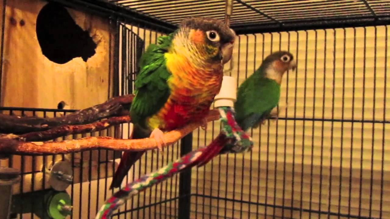 Yellow-sided Conures