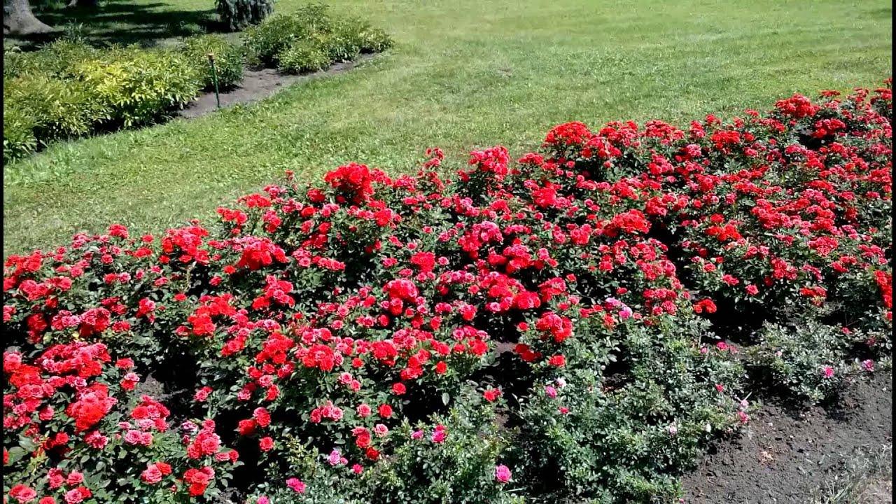 розы бордюрные посадка и уход фото