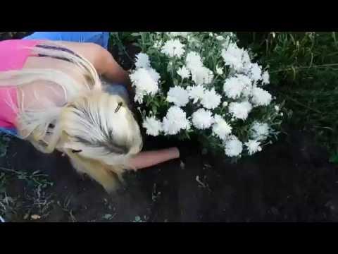 Хризантема многолетняя ! Подарок от подписчиков ! Посадка 🌱