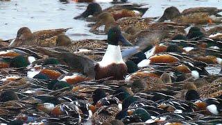 Shovelers in feeding frenzy, Ducks feeding in circle, ducks feeding in lake מריות אוכלות בסחרחורת
