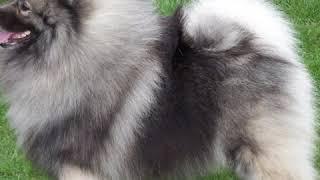 Keeshond  Dog Breed  Pet Friend