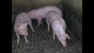 Elevage porc raclage en V
