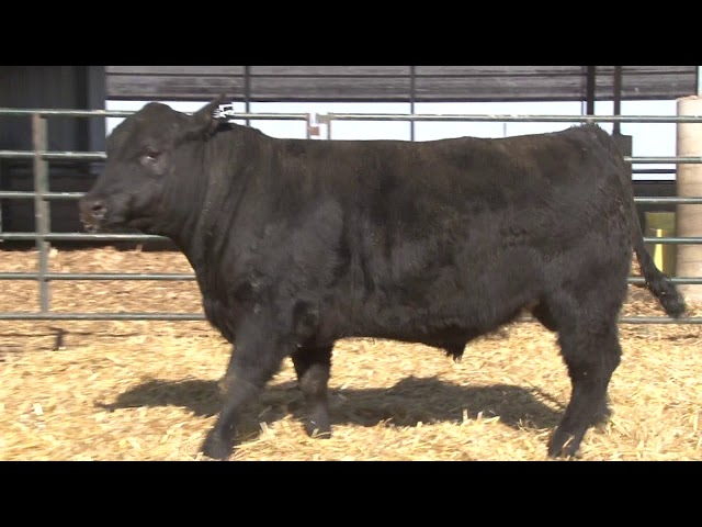 Schiefelbein Angus Farms Lot 37